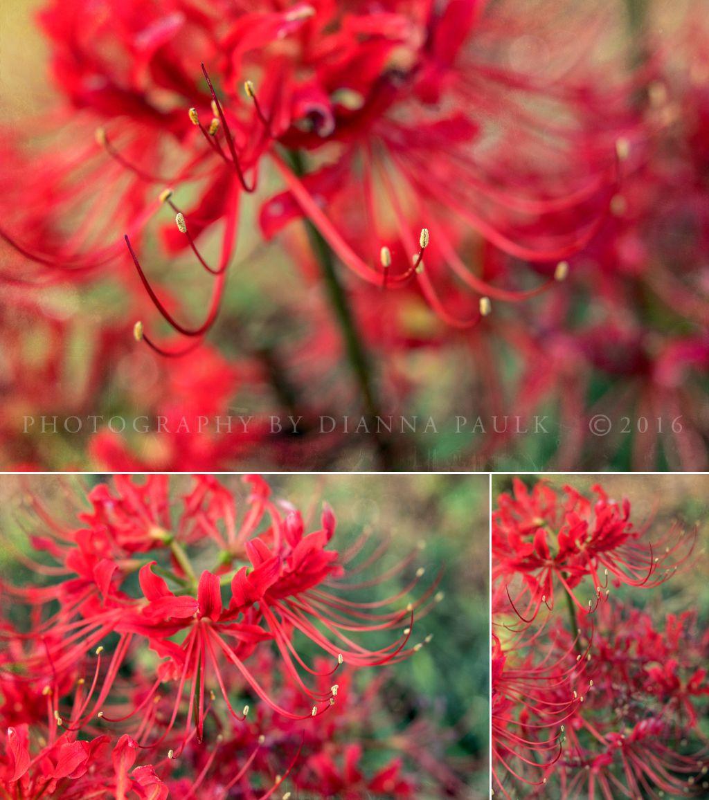 spider-lilies-1
