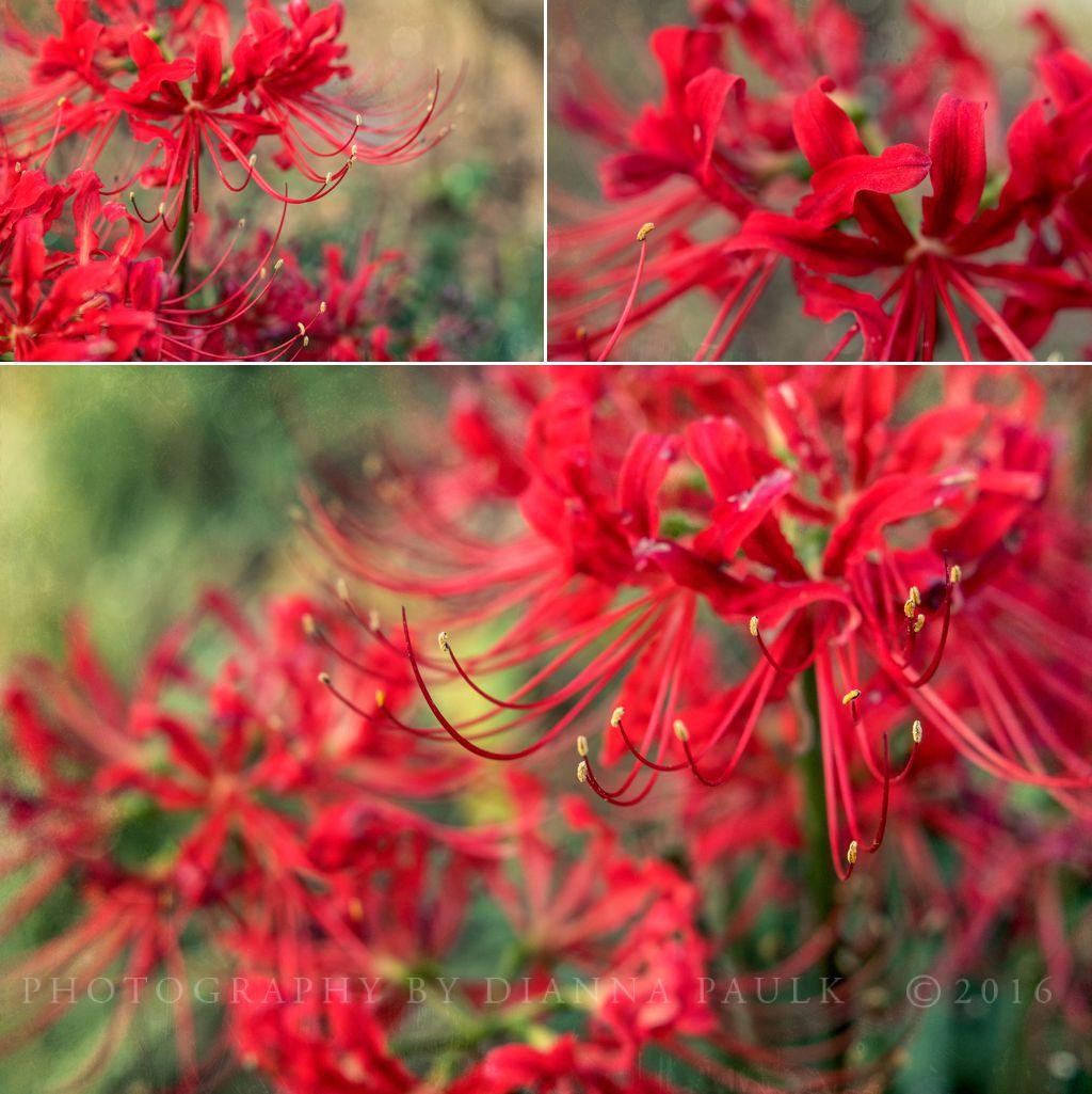 spider-lilies-2