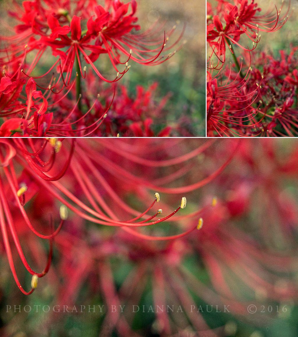 spider-lilies-3